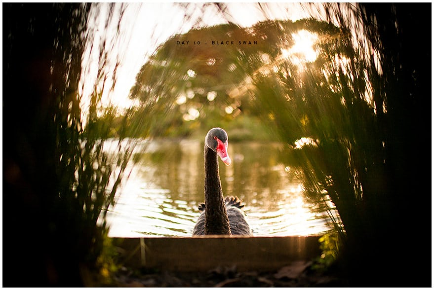 Black swan in lake at Centennial Park